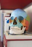 Пластичный медицинский череп Стоковое Изображение