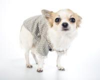 Платье способа собаки чихуахуа очарования нося Стоковые Фотографии RF