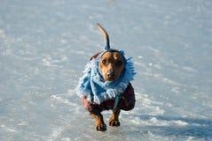 платье dachshund Стоковое Изображение
