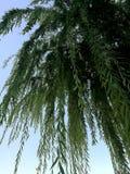 Плача верба и голубое небо, природа в городе Стоковые Фото