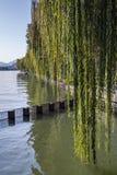 Плача верба на побережье западного озера Стоковая Фотография