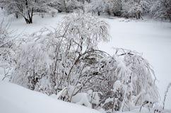 Плача верба под весом снега стоковое фото rf