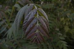 Плача покрашенные листья указывают вниз стоковое изображение rf