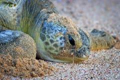 плача черепаха Омана стоковые изображения