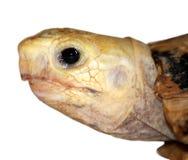 плача черепаха Стоковые Изображения RF