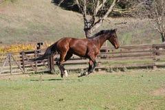 племенник скаковой лошади Стоковые Изображения RF