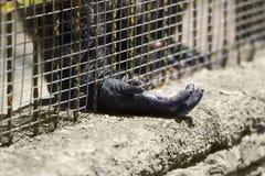 плененная горилла стоковая фотография rf