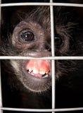 плененная обезьяна Стоковое Изображение