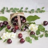Плетеная корзина с зрелой вишней и разбросанными ягодами, листьями, цветками на светлой предпосылке Вегетарианская концепция, дие Стоковые Изображения RF
