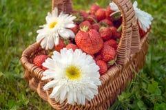 Плетеная корзина с урожаем зрелых клубник и стоцвета цветет на зеленой траве день солнечный Стоковое Изображение