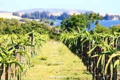 Плодоводческая ферма дракона Стоковая Фотография RF