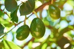 Плодоовощи авокадоа смертной казни через повешение Стоковое Изображение