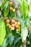 Плодоовощи вишни которое почти зрело стоковые изображения rf
