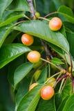 Плодоовощи вишни которое почти зрело стоковые изображения