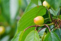 Плодоовощи вишни которое почти зрело стоковая фотография