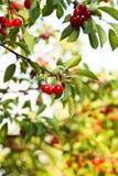 плодоовощи вишни Стоковые Изображения RF