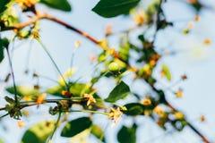 Плодоовощи зеленого цвета вишневых деревьев, которые начинают зреть, повиснуть на ветви дерева Стоковые Фотографии RF