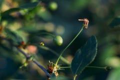 Плодоовощи зеленого цвета вишневых деревьев, которые начинают зреть, повиснуть на ветви дерева Стоковое Изображение