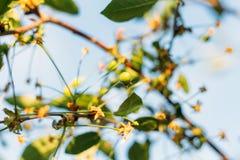 Плодоовощи зеленого цвета вишневых деревьев, которые начинают зреть, повиснуть на ветви дерева Стоковые Изображения