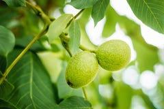 Плодоовощи зеленого цвета грецкого ореха на дереве Стоковые Фотографии RF