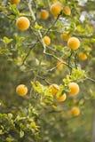 Плодоовощи и цветки trifoliate оранжевого дерева стоковое изображение rf