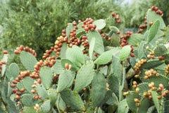 Плодоовощи кактуса Стоковое Фото