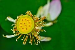 Плодоовощи лотоса Стоковое Фото