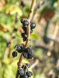 Плодоовощи черной смородины забытые на хворостинах Весьма засохлость стоковые изображения