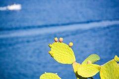 Плодоовощи шиповатых груш одичалые Стоковая Фотография