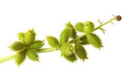 плодоовощи cocklebur изолировали белизну Стоковые Изображения