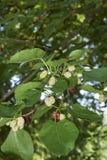 Плодоовощи Morus alba стоковые фотографии rf