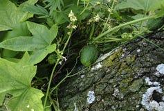 Плодоовощи squirting огурца засаживают elaterium Ecballium на предпосылке зеленых листьев Стоковое фото RF