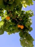 Плодоовощ абрикоса на ветви и голубом небе Стоковые Изображения RF
