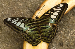 плодоовощ бабочки подавая Стоковые Фотографии RF