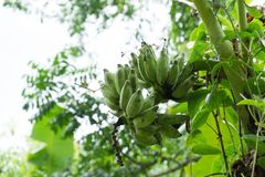 Плодоовощ банана на дереве, от бананового дерева не сильн стоковые изображения rf