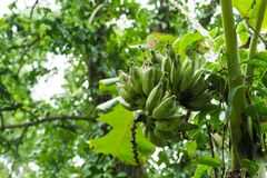 Плодоовощ банана на дереве, от бананового дерева не сильн стоковые изображения