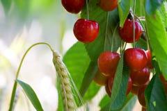 плодоовощ вишни Стоковое фото RF