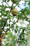 Плодоовощ гранатового дерева на зеленом дереве гранатового дерева стоковые изображения rf