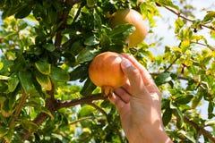 Плодоовощ гранатового дерева рудоразборки женщины от дерева Стоковая Фотография RF
