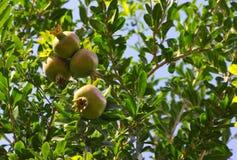 Плодоовощ гранатового дерева Стоковые Изображения