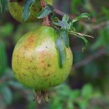 Плодоовощ гранатового дерева Стоковые Фото