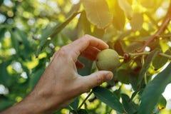 Плодоовощ грецкого ореха фермера, который рассматривая выросли в органическом саде Стоковое Изображение RF