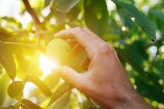 Плодоовощ грецкого ореха фермера, который рассматривая выросли в органическом саде Стоковая Фотография