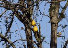 2 плодоовощ груши висят на ветви Плодоовощ в ноябре Стоковое Изображение RF
