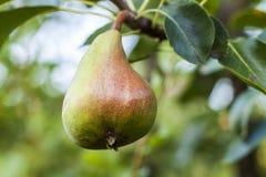 Плодоовощ груши на дереве в конце-вверх сада плодоовощ Стоковое Изображение