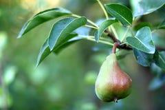 Плодоовощ груши на дереве в конце-вверх сада плодоовощ Стоковая Фотография RF