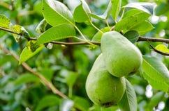 Плодоовощ груши на дереве в саде плодоовощ Стоковая Фотография RF