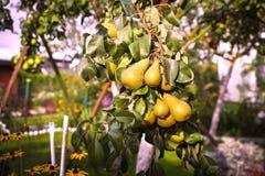 Плодоовощ груши на дереве в саде плодоовощ стоковые изображения rf