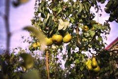 Плодоовощ груши на дереве в саде плодоовощ стоковые фото