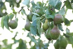 Плодоовощ груши на падении дождя ветви дерева Стоковое Изображение